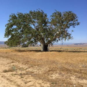 Oak Tree on Tejon Ranch
